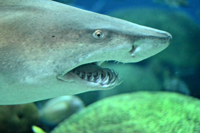 Sharks proudly show their teeth.