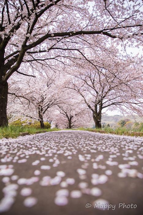 桜 花 群馬 桐生