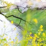 桜 花 千鳥ケ淵公園