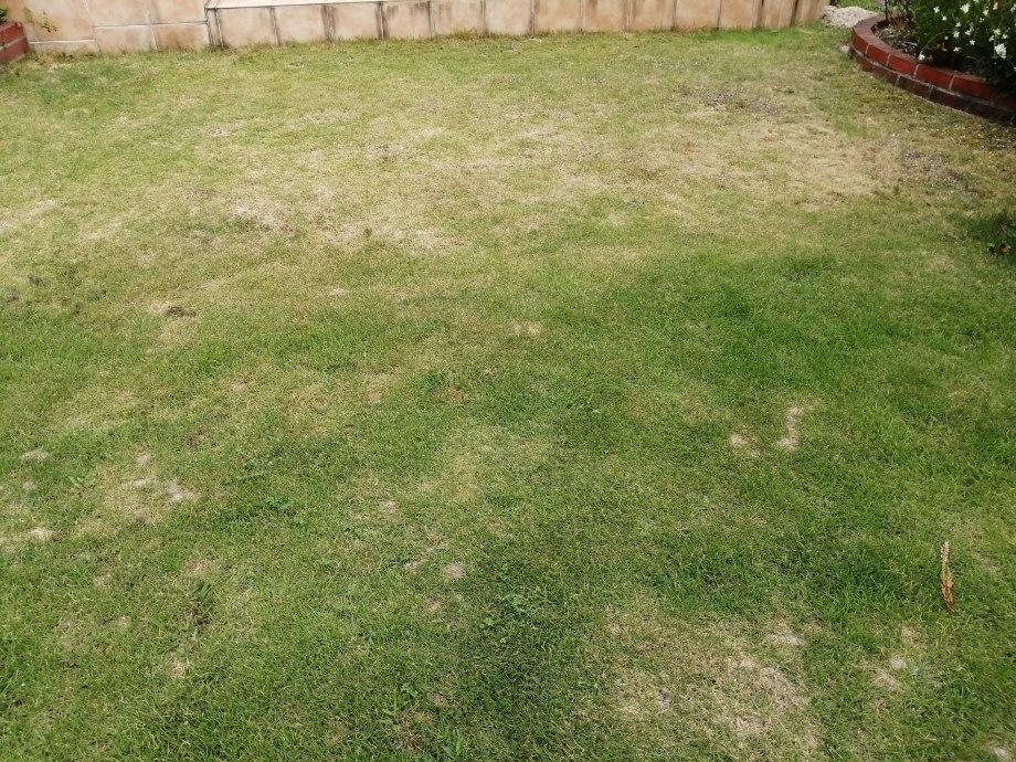 芝生の水切れを放置した結果