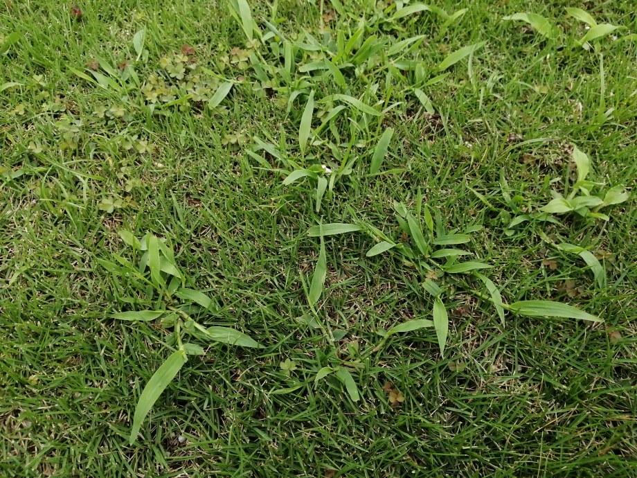 芝生にはびこるメヒシバは最強で実に厄介です|駆除方法おしえます