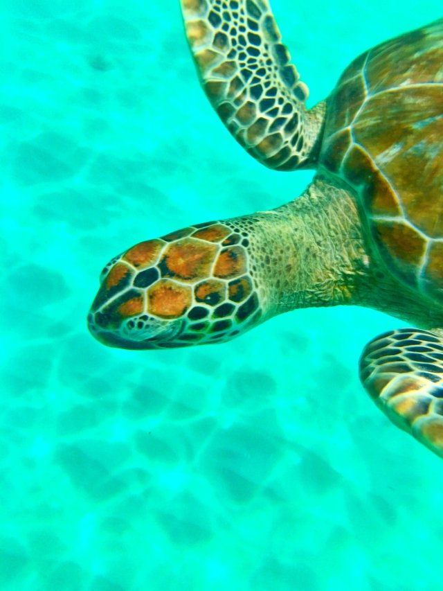 Snorkeling with turtles Barbados