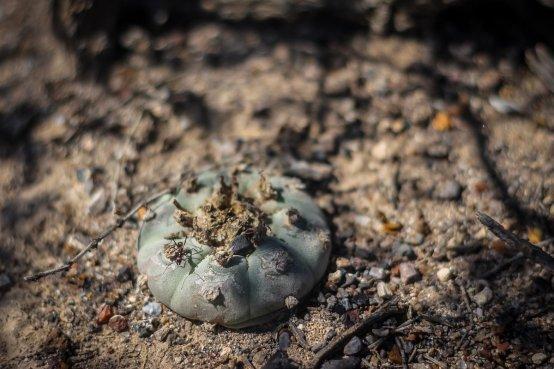 peyote desert