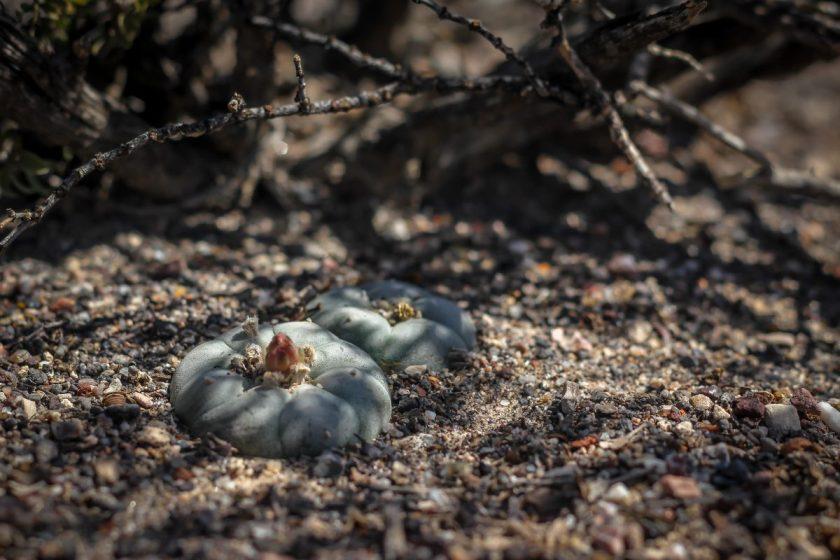 baby peyotes