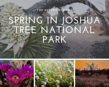 Joshua-Tree-Desert-Blooms-Springtime-in-Joshua-Tree-National-Park