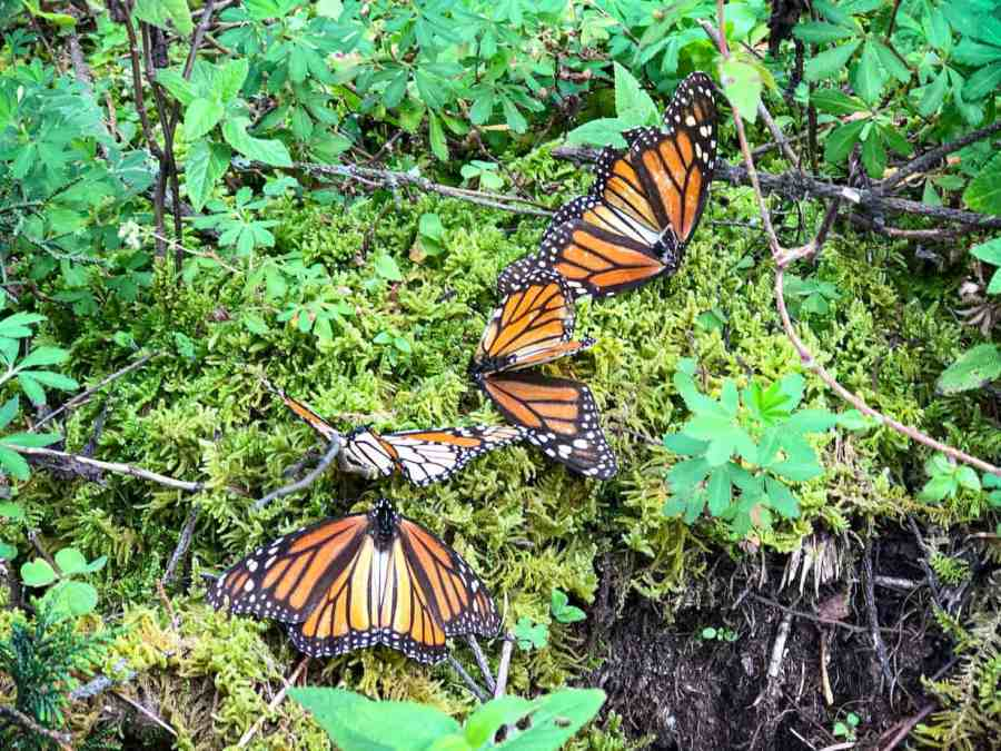 Mexico-Family-Travel-monarch-butterflies
