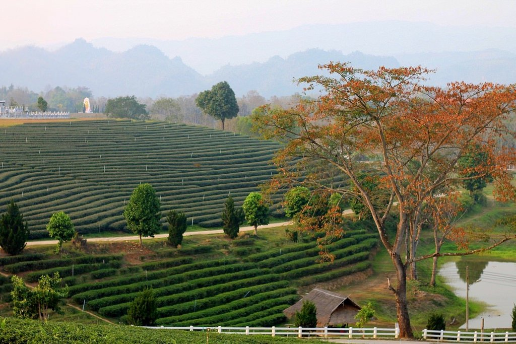Tea plantation - Canon 50mm