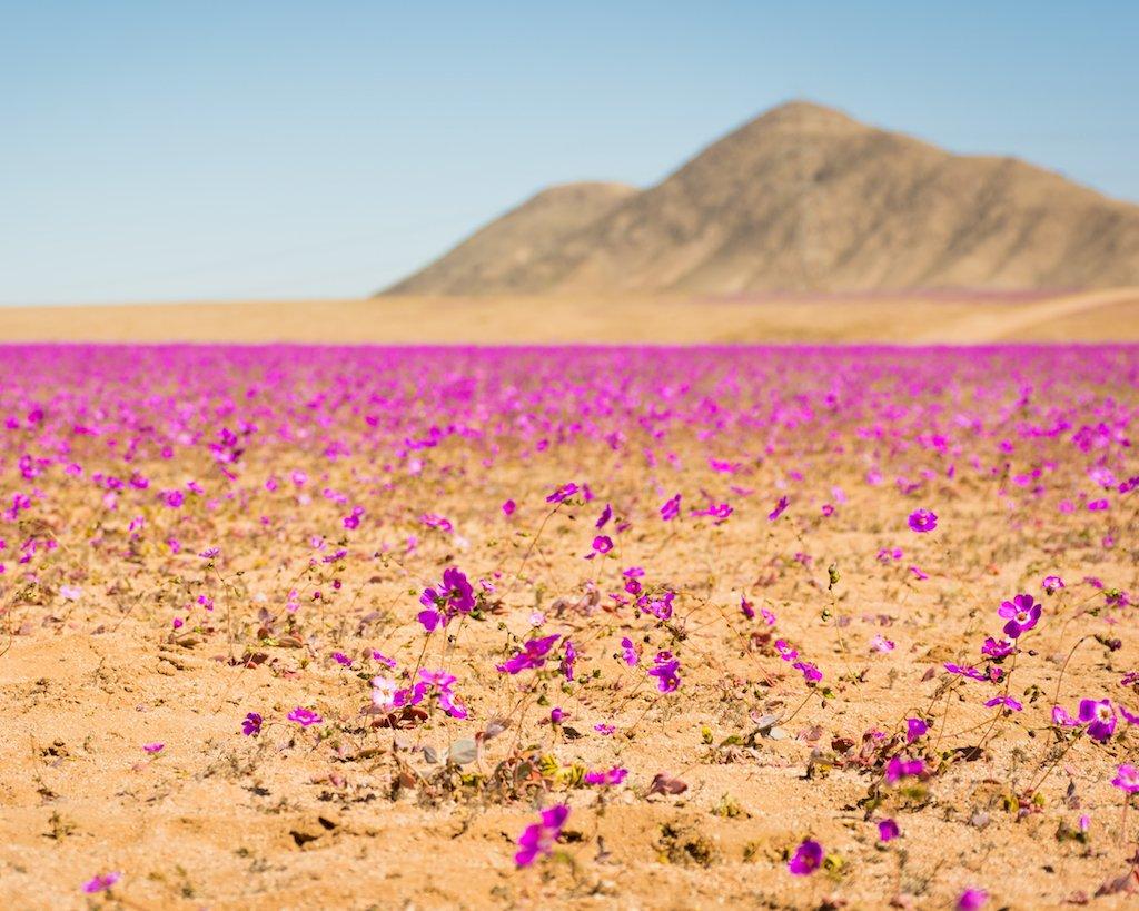 Where to travel in 2018 - Chile - flower-desert-ptl