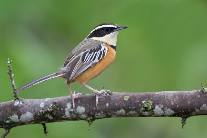 Maranon Crescent-chest (Melanopareia maranonica) perched on a branch in Peru.
