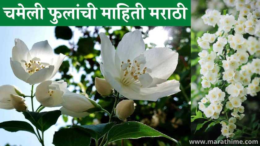 चमेली फुलांची माहिती मराठी, Jasmine Flower Information in Marathi