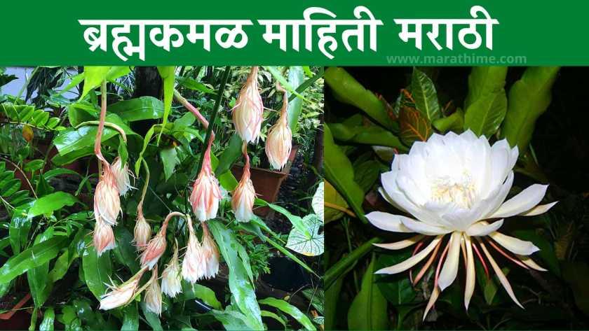 ब्रह्मकमळ माहिती मराठी | Brahma Kamal in Marathi