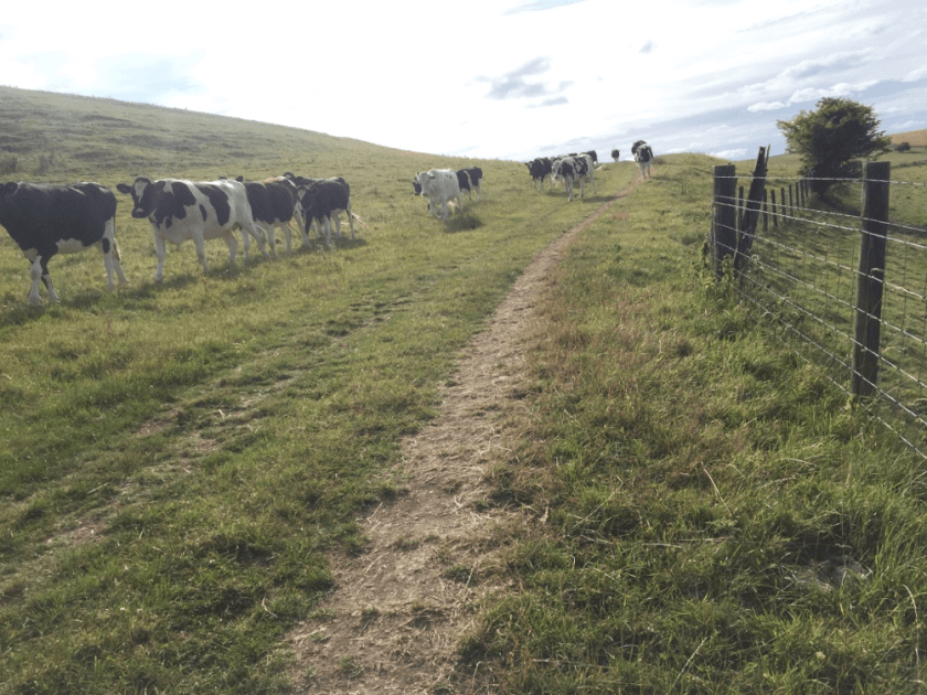 Cow action on the trail