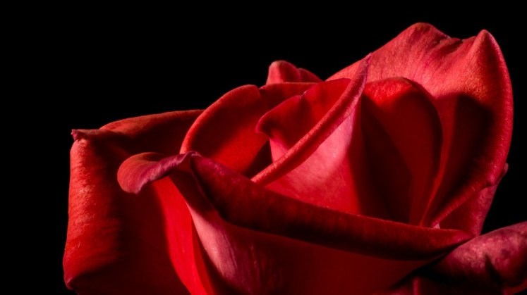 red-rose-320892_960_720