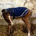 MarBill Hill Farm - Wembley Foal - Horse Coat