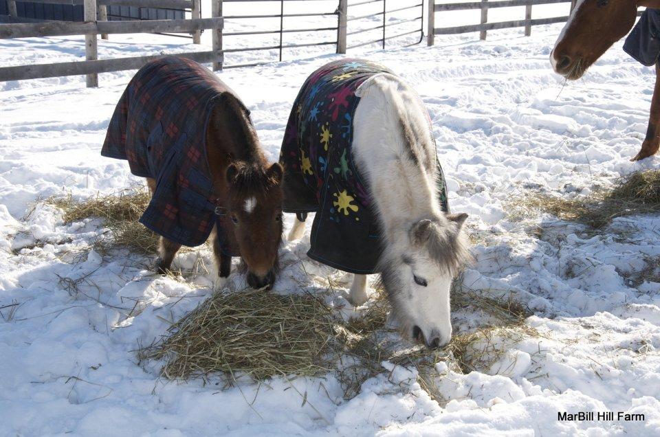 Cocoa & Lily Grazing - Winter