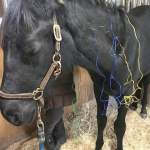 MarBill Hill Farm - equine acupuncture - Poppy