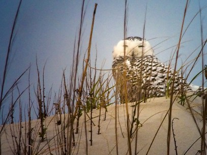 A snowy owl on the Outer Banks -- Ocracoke, North Carolina (January 2014)iPhone 5S + 30/2.2