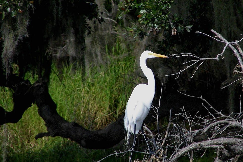 Great Egret  Myakka River State Park