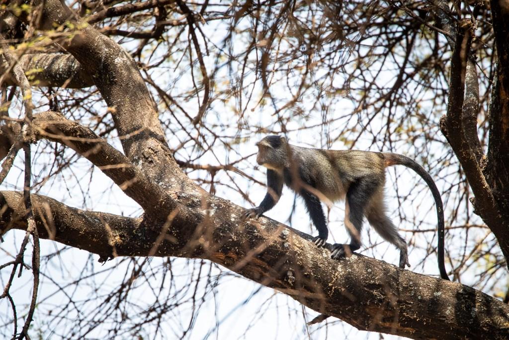 Blue monkey fotografiado en un safari fotográfico en Tanzania con Marc Albiac.