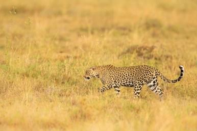 Leopardo fotografiado en un safari fotográfico en Tanzania con Marc Albiac.