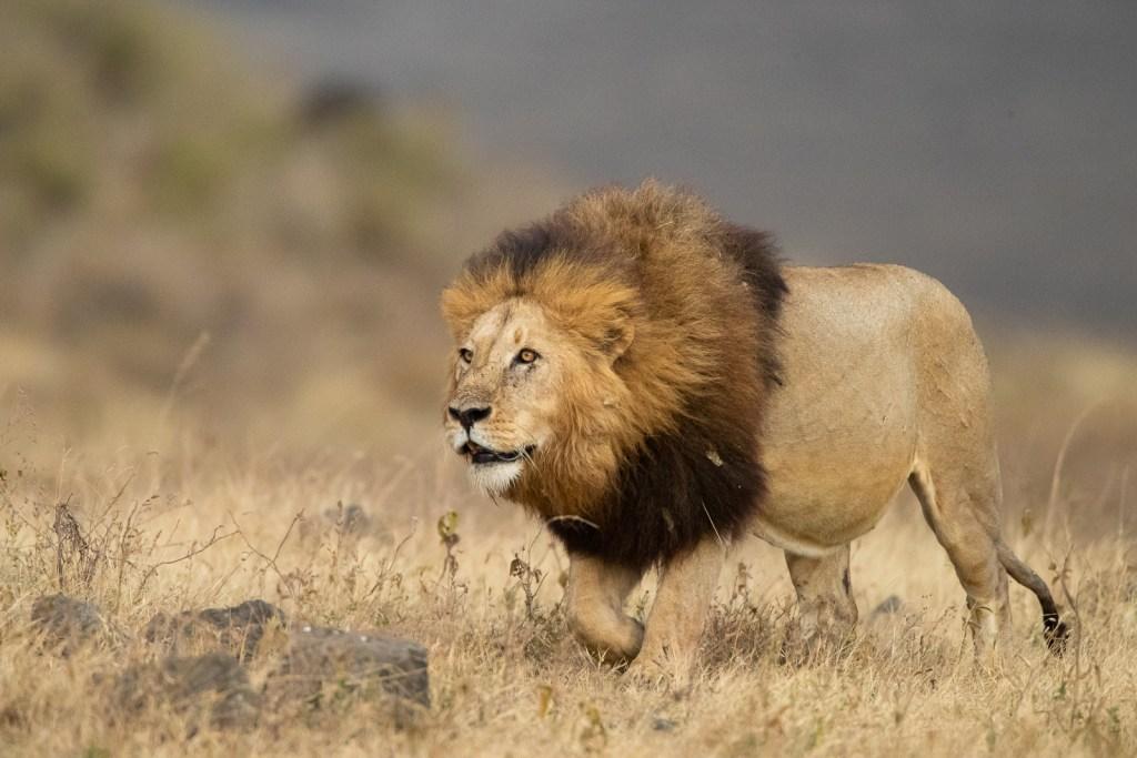 León fotografiado en un safari fotográfico por Tanzania con Marc Albiac.