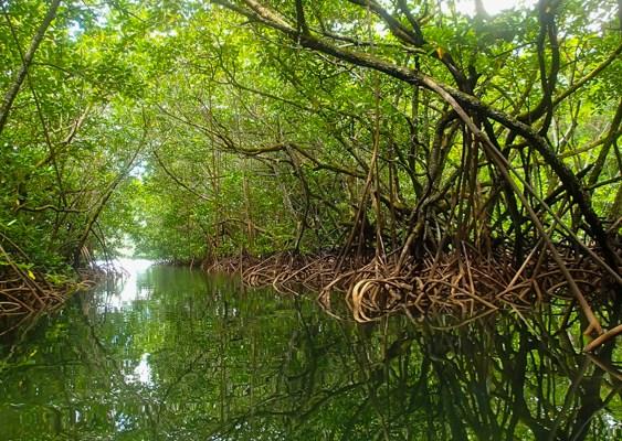Mangrove de Palau