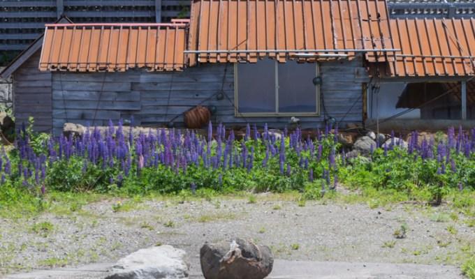 Violet blue comme les fleurs du Shiretoko