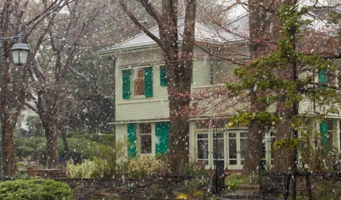Sakura sous la neige