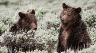 playful grizzlies (yellowstone)