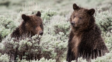 playful grizzlies (yellowstone)