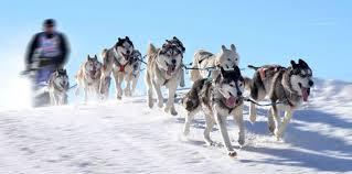 chiens de traîneaux