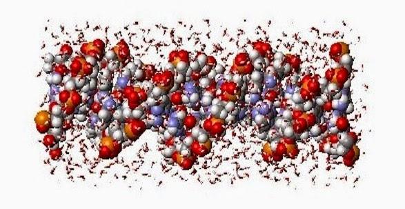 Hydratation de l'ADN