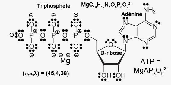 Adénosine triphosphate