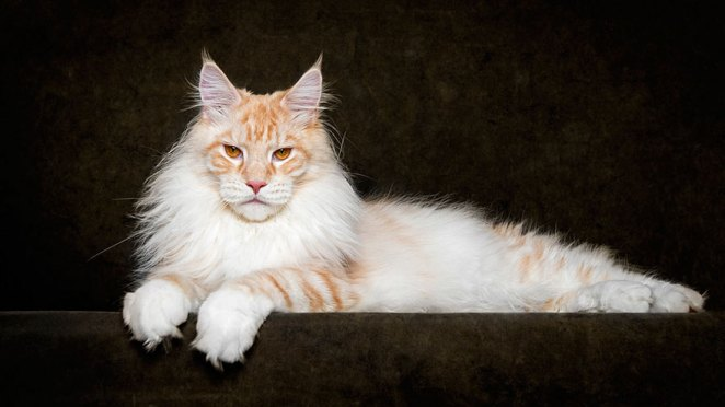 gatos-maine-coon-007