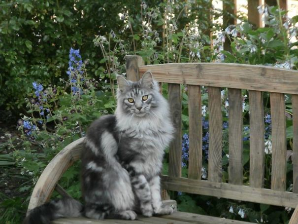 gatos-maine-coon-020