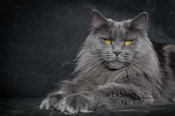 gatos-maine-coon-024