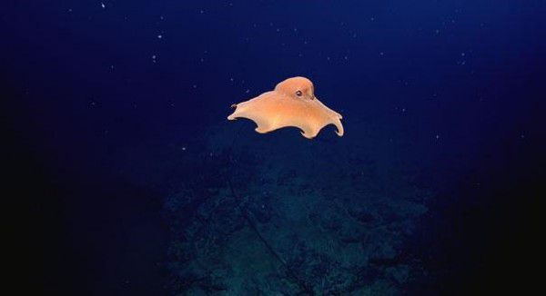 Grimpoteuthis 2