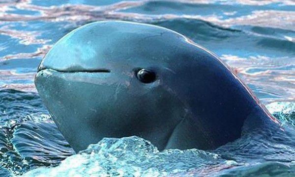 delfín del Irrawaddy 2