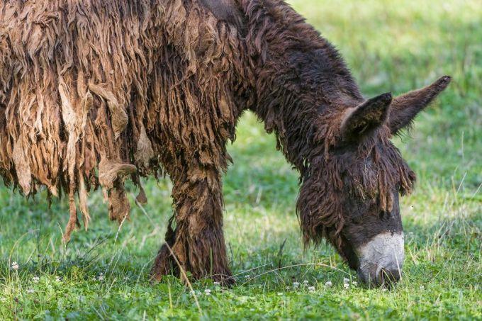 Poitou_burro_dreadlocks (3)
