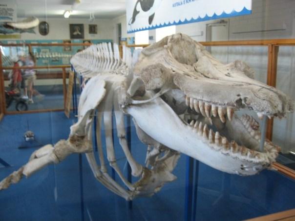 Esqueleto old tom