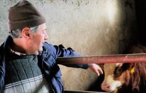 Papà ALberto con uno dei suoi vitelli