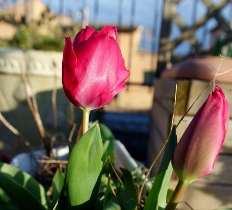 Felicità. I primi tulipani in terrazzo