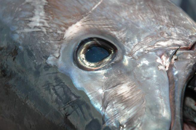 il tonno può raggiungere i 90 chilometri h. e per questo la sua partenza sulla canna è adrenalina pura