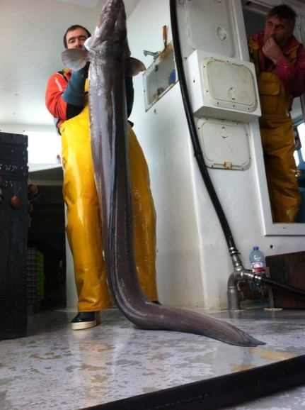 Questo esemplare del peso di 35 kg. per 2,24 metri, è stato catturato con il parangale. Aveva mangiato una spigola di 3 chilogrammi