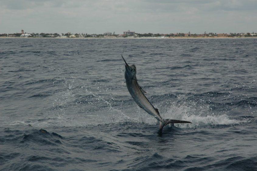 Lo splendido salto del pesce vela