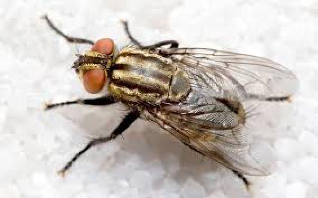 la mosca