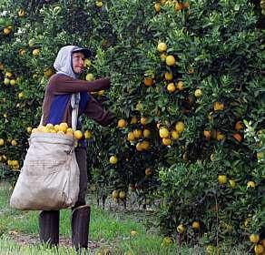 laranjas_agricola_antoniomilena