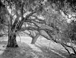 Carmel Oaks