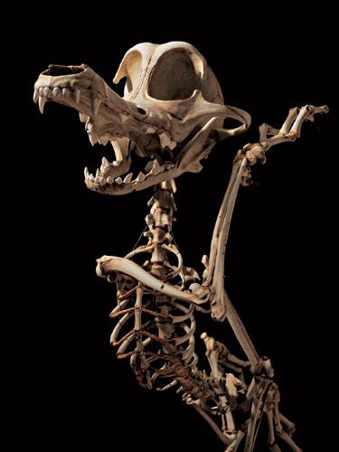 O Coiote que facía a vida imposible ó Correcaminos quedou nos osos