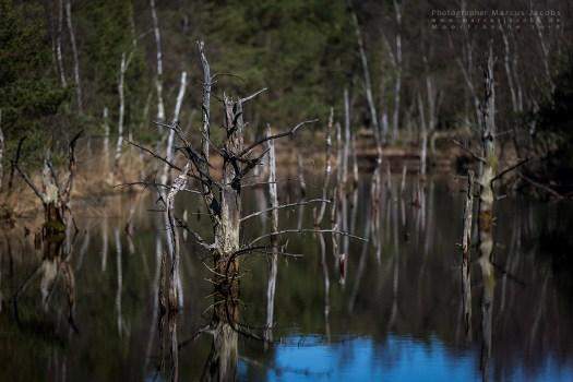 Pietzmoor alte Baumstämme Wasser